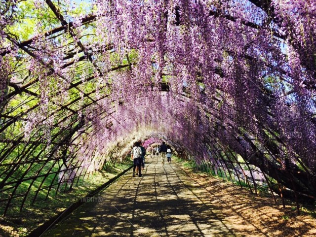 Wisteria Tunnel In Yahata Japan Stock Photo 08d719b9 A67b 4191