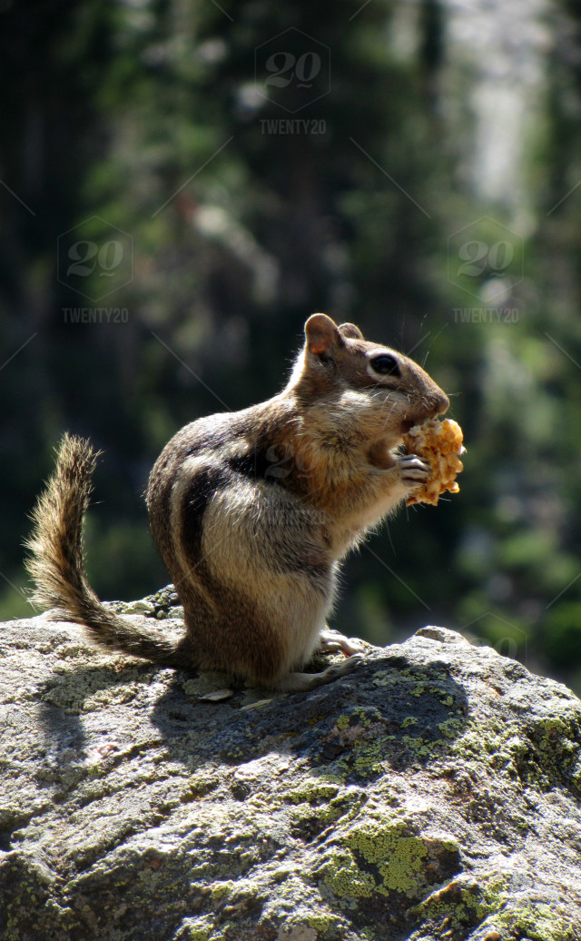 A chipmunk eating granola in Rocky Mountain National Park