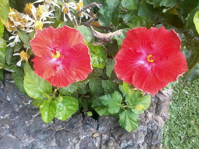 Two Red Hibiscus Flowers Blooming On A Blush On The Island Of Maui