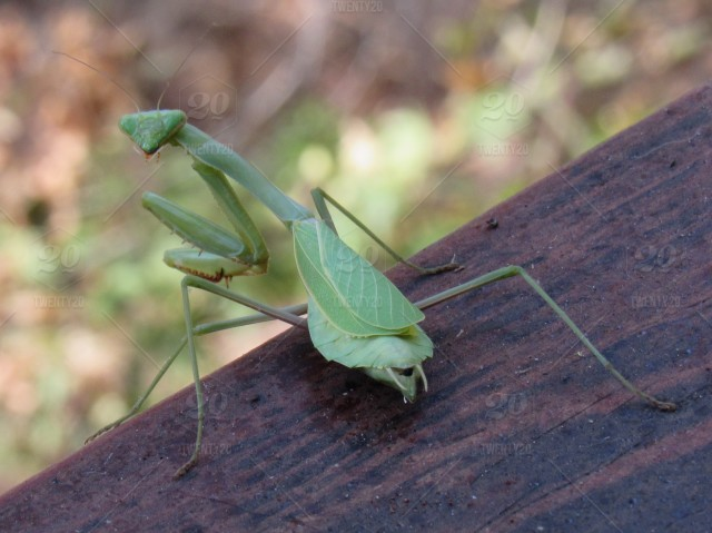 Praying Mantis stock photo 7f4619fa-3495-4f51-be57-138ec885728f