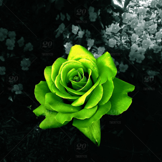 green rose with black and white background stock photo d5b7a360 0e0a