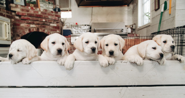 Litter of yellow lab puppies looking over a bench  stock photo