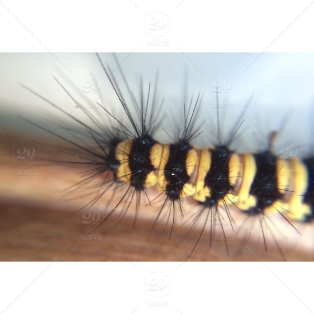 A Macro Photo Of A Black And Yellow Caterpillar With Black Spines Stock Photo E89aeada 9ce0 4e71 B8c6 A29df8f6fdec