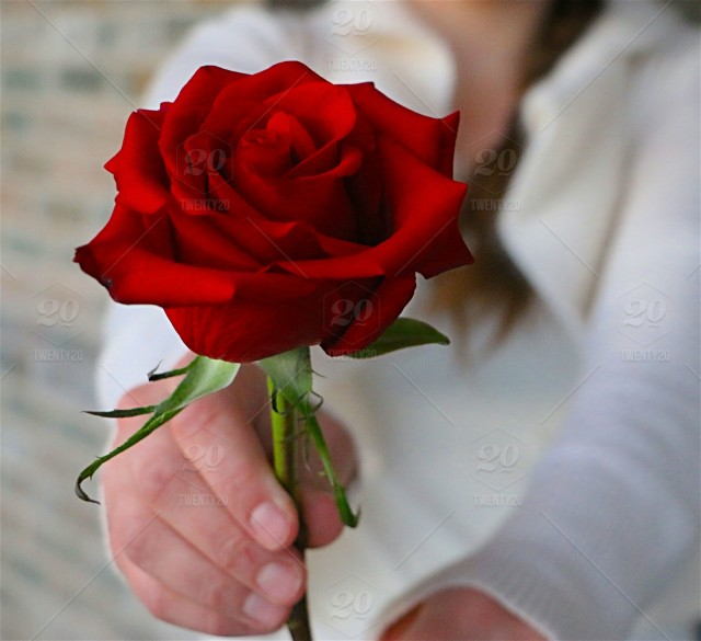 Woman holding a single, red rose stock photo 16960a37-110b-4225 ...