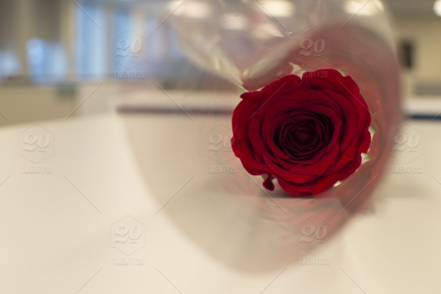 Red Rose In Heart Shaped Wrap On White Background With Reflections