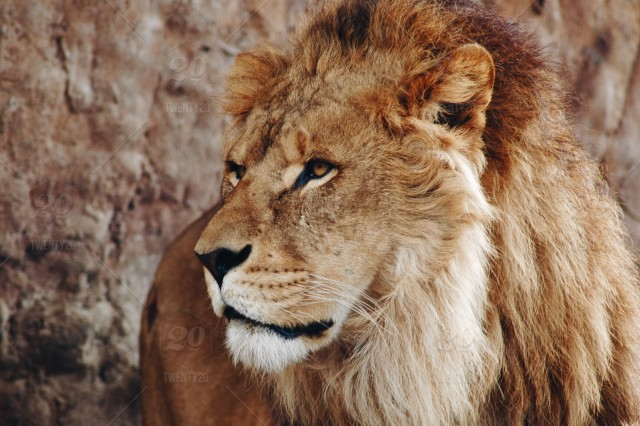 Animal, nature, outdoors, animals, earth, lion, lioness, south-africa, wild-animals, lions ...