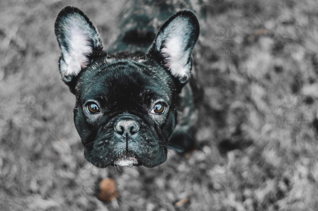 Frenchie stock photo fe5c34de-2be2-46a4-8794-214ae5f79b23
