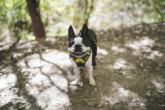 Camping Dog Pets Puppy Cute Pet Outdoor Dogs Boston Terrier
