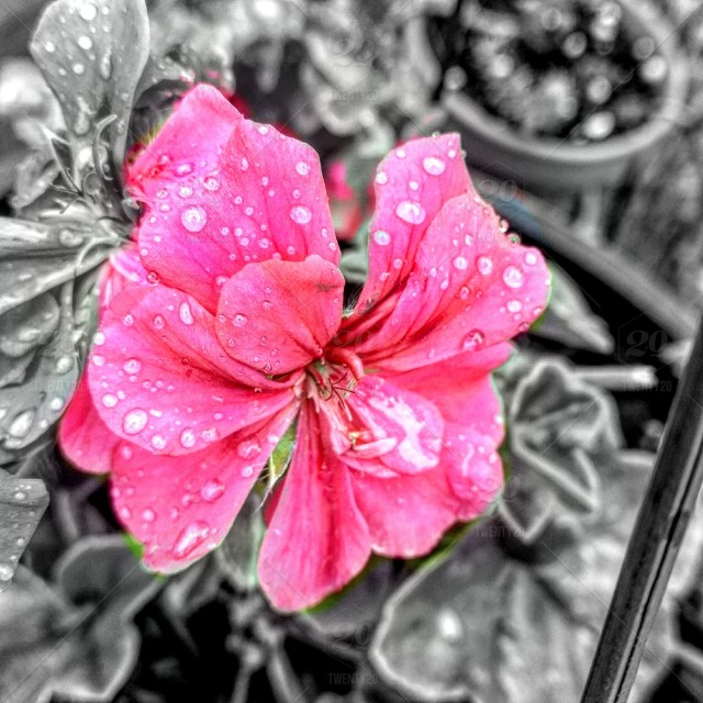 Raindrop on pink flower with black and white background stock photo raindrop on pink flower with black and white background mightylinksfo