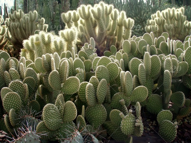 Dense Cactus Garden In The Desert With Prickly Pear And Cholla; Desert  Garden Full Of Beautiful Cactus Plants; Cacti Growing In The Desert; Desert  Landscape ...