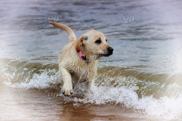 Young Labrador Playing In The Sea Stock Photo Ec6753b8 89d1 418b