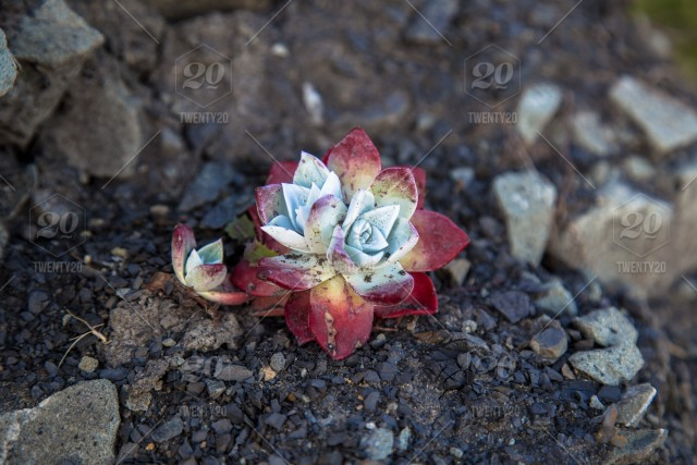 A Lone Little Red Succulent Growing Wild On A California Cliff Amongst
