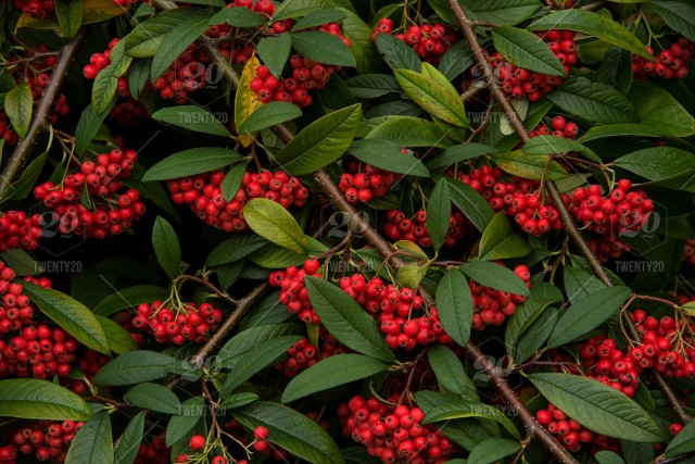 A Cotoneaster Tree Heavily Laden With Red Berries In The Autumn Fall