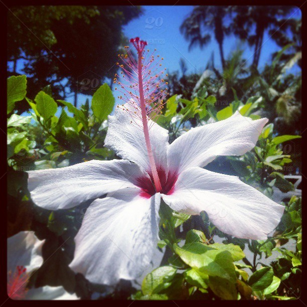 A Perfectly Bloomed Pale Pink Hibiscus Flower And Its Magenta Stamen