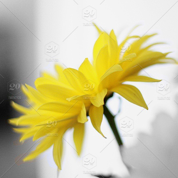 A yellow flower bought for a special occasion  stock photo ig