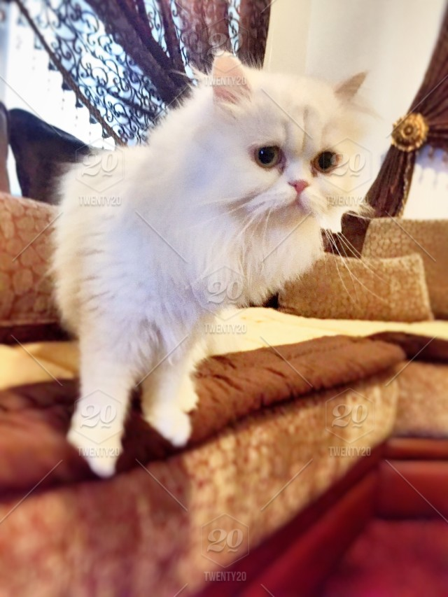 Beautiful White Persian Cat Stock Photo 4914e5a8 C9e2 4a8d 8a06 A327ec0cd045