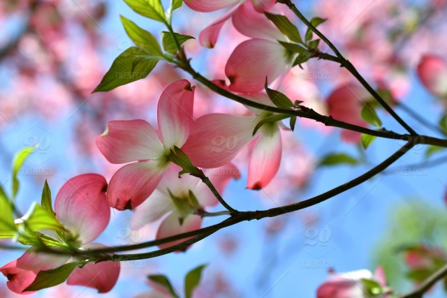 Pink Dogwood Blossoms Against A Blue Sky Copy Space Background