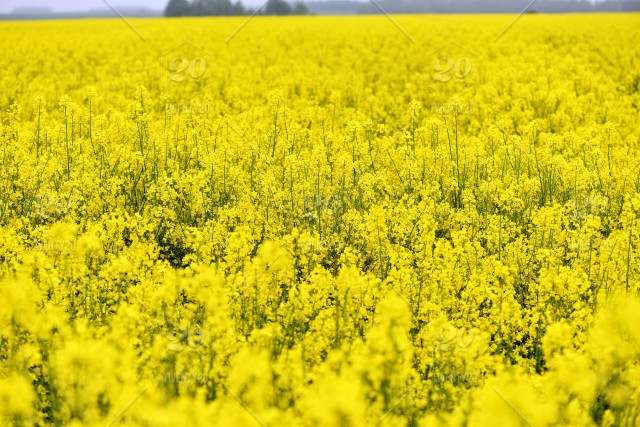 With beautiful yellow flowers blooming rapeseed field stock photo farm field flower agriculture crop oil bloom mightylinksfo
