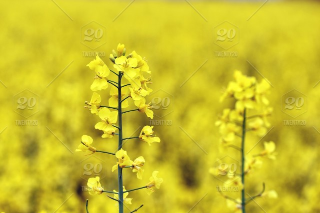 Elective focus close up photography with beautiful yellow flowers stock photo farm field flower agriculture crop oil bloom mightylinksfo