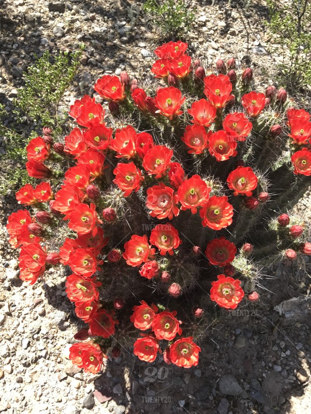 Spring Exploded In The Desert A Riot Of Red Flowers Blooming On A