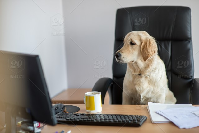 dog gold retriever working in office at the computer