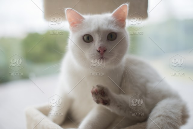 White Cat Portrait Close Upcute Cat Washing Himself Stock Photo