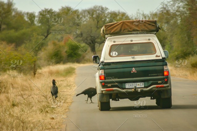 Large birds on the road on self drive safari through game park