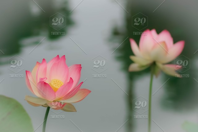 Beautiful Lotus Water Lilies Blooming In The Summer Sunshine Stock