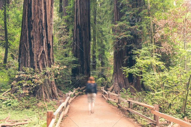 A Woman Walking Through The Majestic Redwood Trees Of Muir