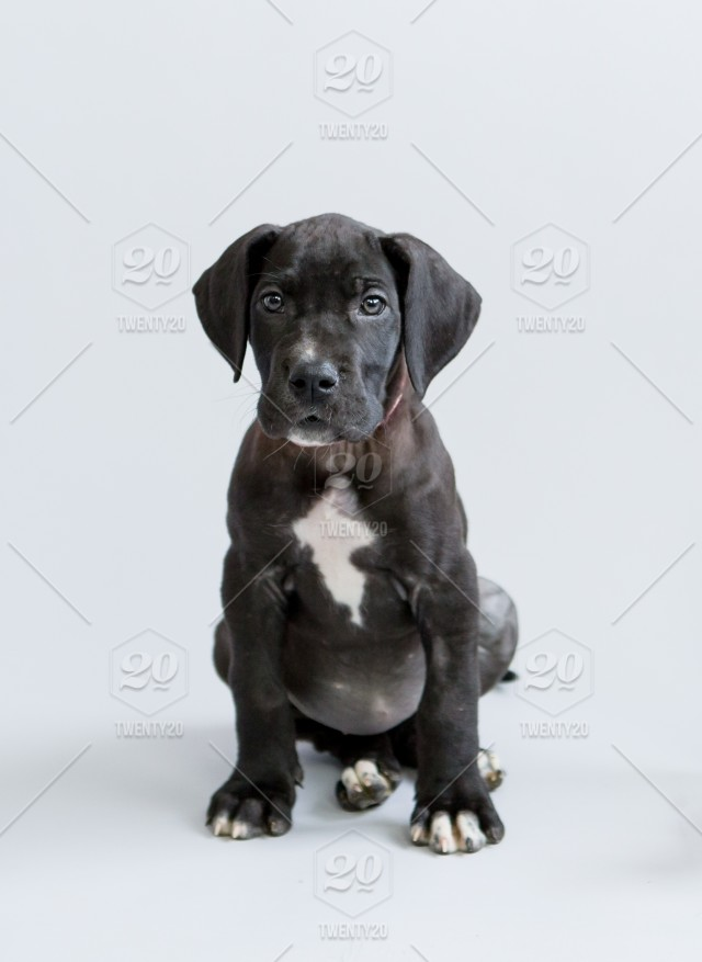 Adorable black Great Dane puppy sitting on a white ...