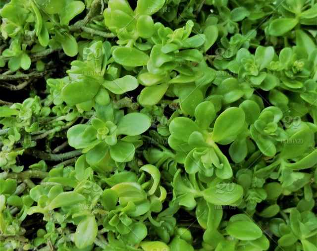 Green Bright Green Succulent Ice Plant Ground Cover