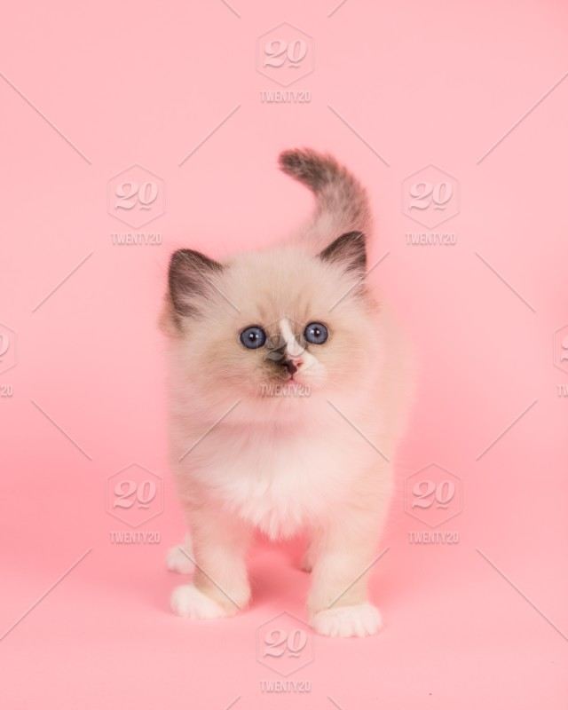 Cute Rag Doll Kitten Baby Cat Standing Looking Up On A Pink