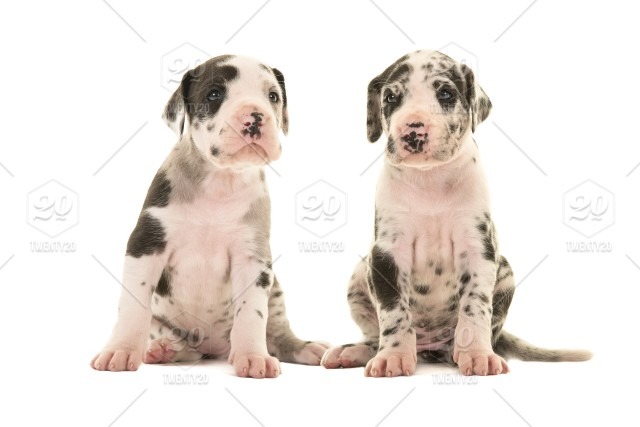 Two Great Dane Puppy Dogs Sitting Looking At The Camera