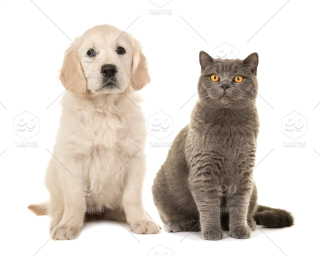 Blond golden retriever puppy dog and grey british short hair cat