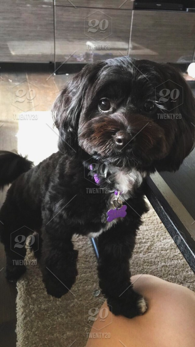 Animal Dog Puppy Cute Small Fluffy Adorable Puppy Eyes Stock Photo A5624286 C746 4d11 9512 4a553db27688