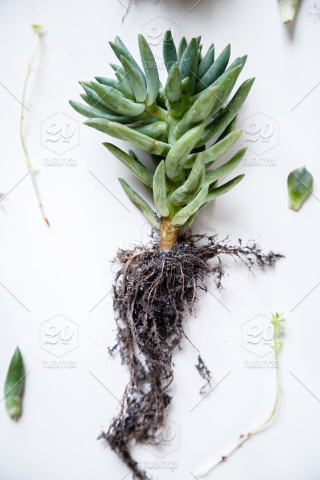 Flatlay Items Succulent Plants Lying On White Background Stock Photo