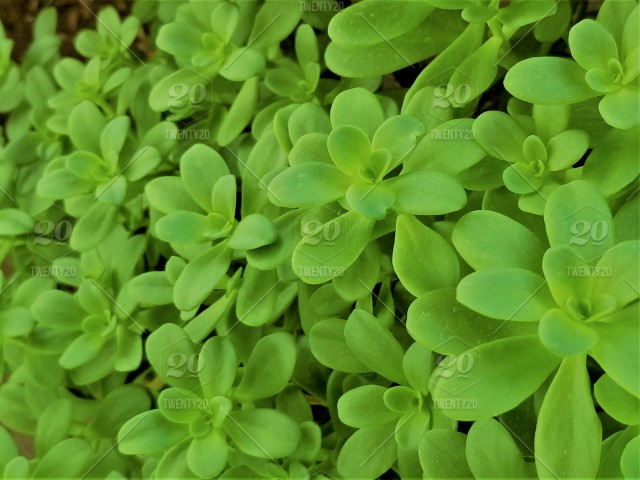 Natural Background Green Succulent Ground Cover Naturally