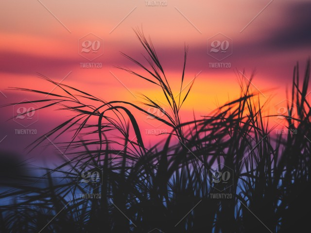 Tall Grass dances in the sunset stock photo cf720e06-dae8