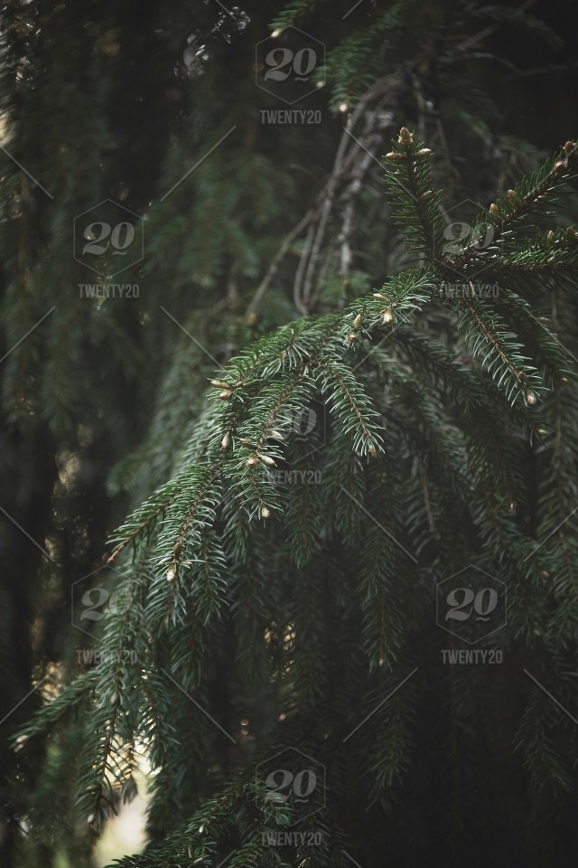 Branches Of A Young Fir In The Forest Beautiful Forest Background Stock