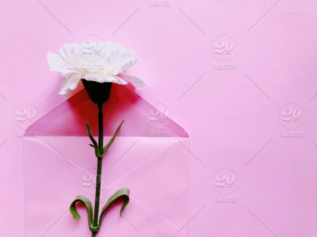 White Carnation Flower On Pink Envelope Pink Background With Copy