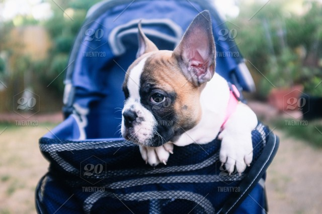 An Adorable Baby French Bulldog Sitting In A Doggie Stroller Stock