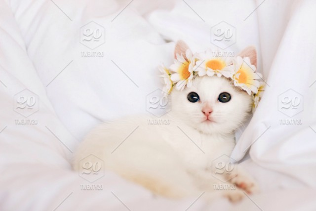 Cute White Kitten Stock Photo Accc5449 8cf9 4244 Ac07 83a1fcd7d9e4