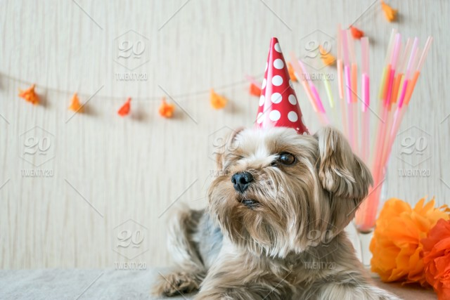 Funny Cute Yorkshire Terrier Yorkie Dog In Party Hat Lies On Table