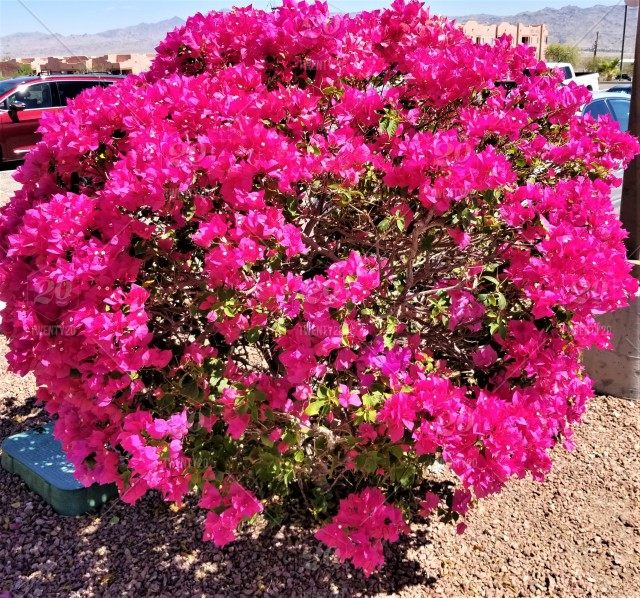 Bright And Colorful Magenta Pink Bougainvillea Bush In Full Bloom
