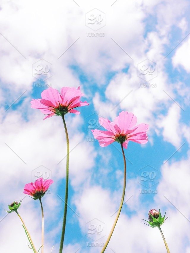 Pink cosmos flowers against partly cloudy blue sky nominated pink cosmos flowers against partly cloudy blue sky nominated mightylinksfo
