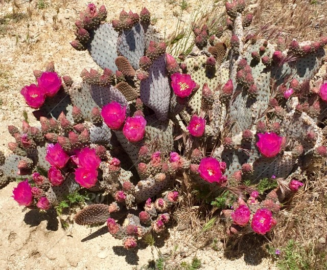 Desert plant with beautiful pink flowers