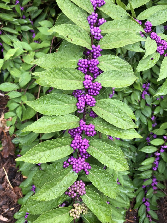 Plant With Green Leaves And Tiny Clusters Of Purple Berries Stock
