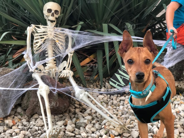 Skeleton, front yard, Halloween, scary, spooky, dog, rescue