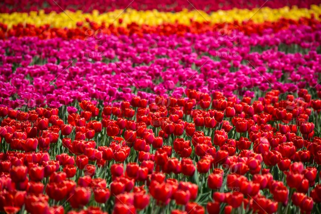 Beautiful Field Of Tulips Closeup Full Frame Red Tulips
