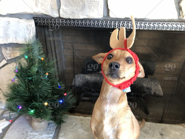 The Grinch Christmas Tree.Rescue Dog Dressed Up As Max From The Grinch Christmas Tree